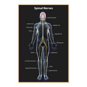chiropractic poster, spinal nerves, spinal degeneration, nerve system, print design, online print store